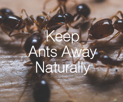 Keep Ants Away Naturally