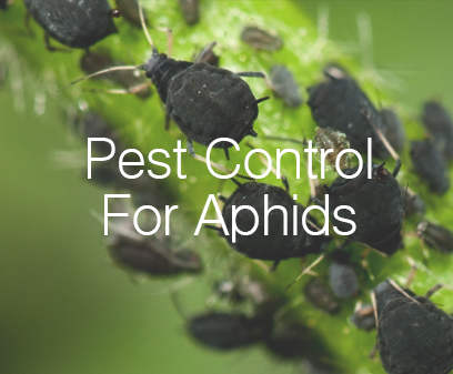 Pest Control For Aphids