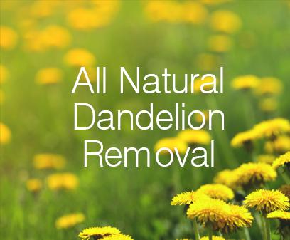 All Natural Dandelion Removal